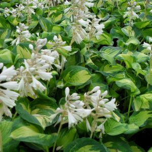 Hosta-Great-Expectations