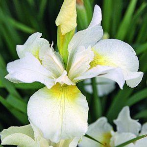 Iris-sibirica-Snow-Queen