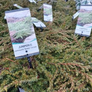Kaeaepioekataja-green-carpet-5