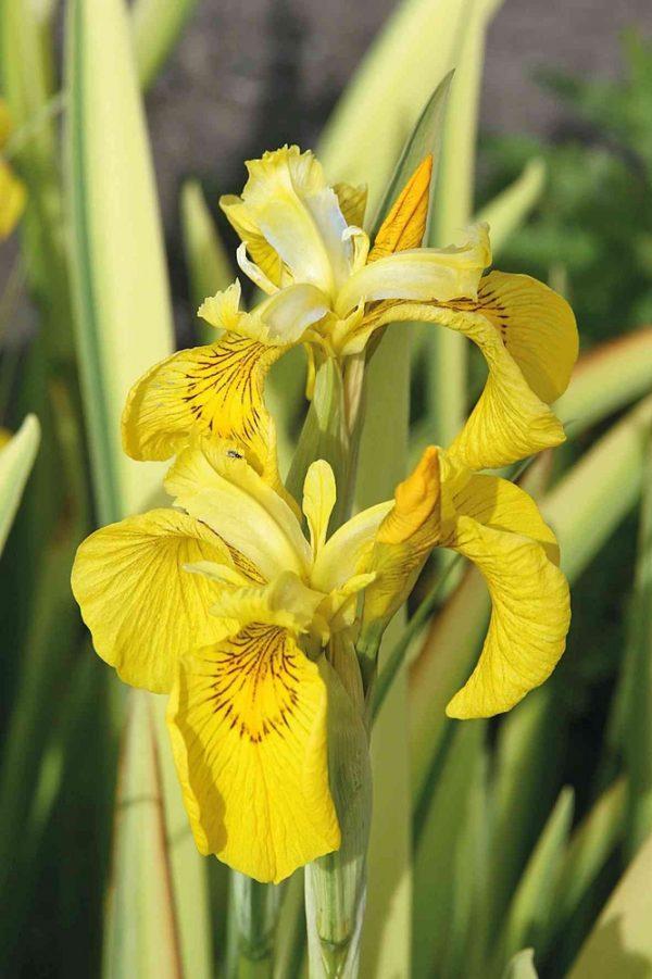 Kurjenmiekka-iris-pseudacorus-Variegata