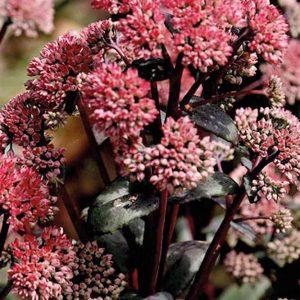 Maksaruoho-Sedum-hybrida-Red-Cauli