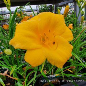 Paeivaenlilja-stella