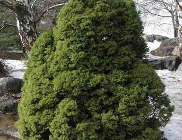 Picea-glauca-Conica-kartiovalkokuusi2