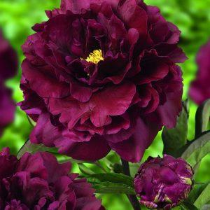 Pioni-Paeonia-double-Black-Beauty