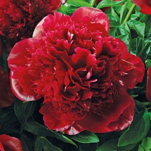 Pioni-Paeonia-double-Red-Charm