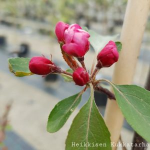 Purppuraomenapuu-aamurusko-2