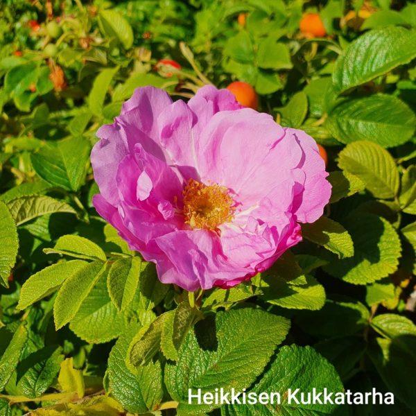 Rosa-ruusu-scarlet-pavement