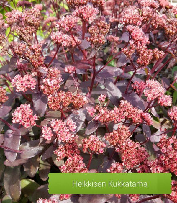 Sedum-Komeamaksaruoho-purple-emeperor