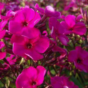 Syysleimu-Phlox-paniculata-Raving-Beauty