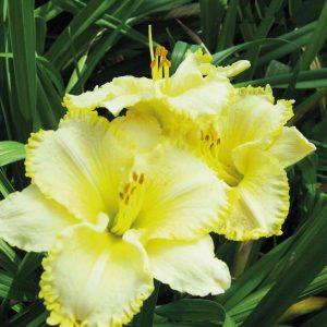 Tarhapaeivaenlilja-Hemerocallis-Villa-Vanilla