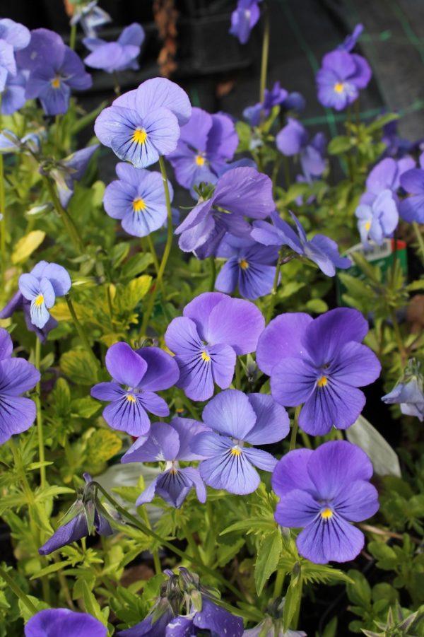 Viola-cornuta-Blue-Perfection