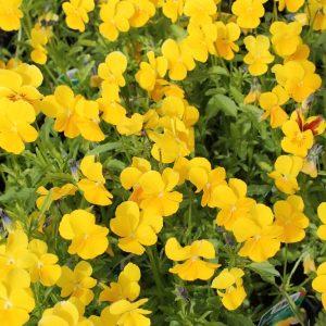 Viola-cornuta-Yellow-Perfection