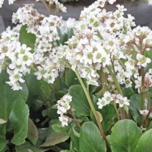 vuorenkilpi-Bergenia-hybrida-Bressingham-White