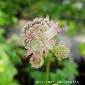 Isotaehtiputki-pink-pride-2
