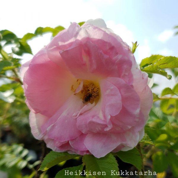 Ruusu-ritausma