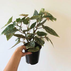 Begonia-Snowcap