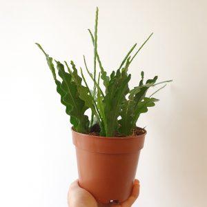 Kalanruotokaktus-Epiphyllum