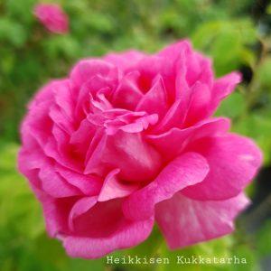 Kartanonruusu-Pikkala-2