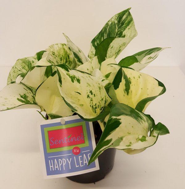 Kultakoeynnoes-happy-leaf