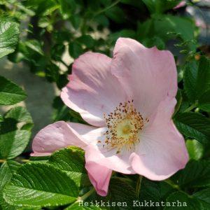 Ruusu-fru-dagmar