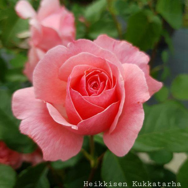 Ryhmaeruusu-Queen-Elisabeth-2