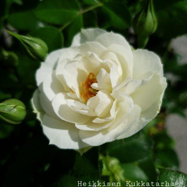 Ryhmaeruusu-sirius