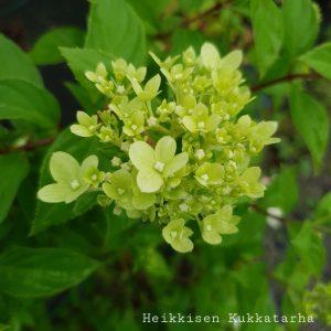Syyshortensia-little-lime-2