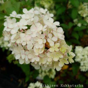 Syyshortensia-vanille-fraise