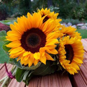 Auringonkukka-Helianthus