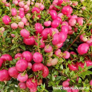 marjakanerva-punainen