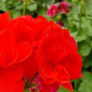 pelargoni-punainen-2-1-600x713-2