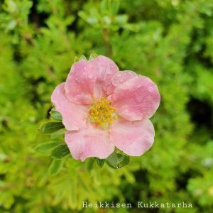 Pensashanhikki-lovely-pink-3