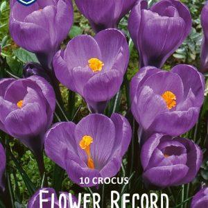 Krookus-Flower-record