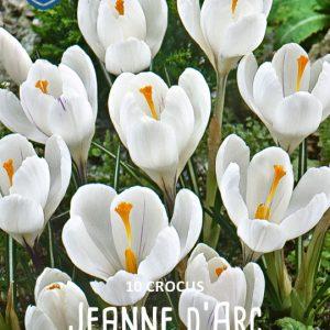 Krookus-Jeanne-d-Arc