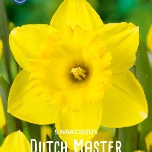 Narsissi-Dutch-Master-2