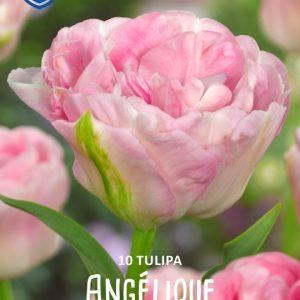 Tulppaani-Angelique-2