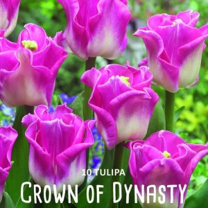 Tulppaani-Crown-of-dynasty-2