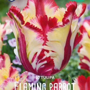 Tulppaani-Flaming-parrot